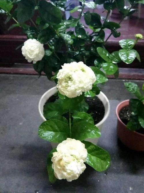 室内养花香的植物