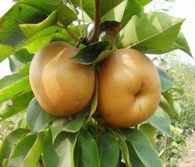 安徽圆黄梨树苗多少钱一棵