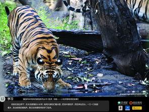 老虎,快跑 小老虎泰戈亮的故事