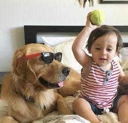 大金毛Arlo是个名副其实的大暖汪图片第25283张 狗狗宝贝图片