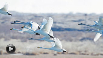 聚焦 候鸟迁徙之路 新闻频道 cctv.com