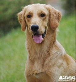 警犬基地专业训练的金毛