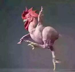 描寫公雞身體的詞語