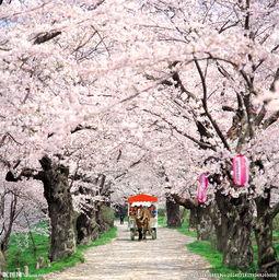 樱花路图片