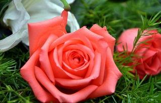 花养花玫瑰花