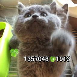 佛山买宠物猫 活体宠物猫蓝猫 佛山猫舍