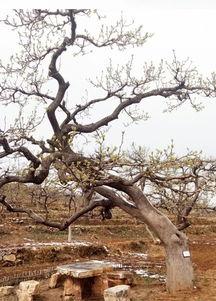 有关古树的诗句