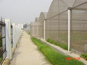 冬春茬温室茄子无公害生产栽培技术  茄子种植整枝打杈技术
