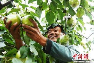山西隰县一颗梨的脱贫力量 助力全县摘掉 国贫帽