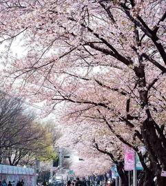 这些春光乍泄的城市,下了美丽的樱花雨你在等全世界的樱花,而我在樱花树下等你 随着春风解冻,万物复苏, 新闻100