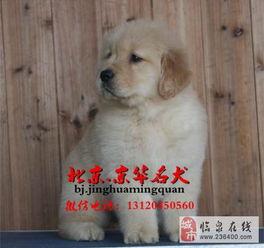 纯种金毛价格金毛幼犬多少钱一只金毛什么样的好