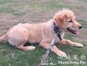 金毛犬怎么养,金毛犬幼犬的饲养方法